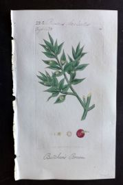 Sowerby C1805 Hand Col Botanical Print. Butcher's Broom 560
